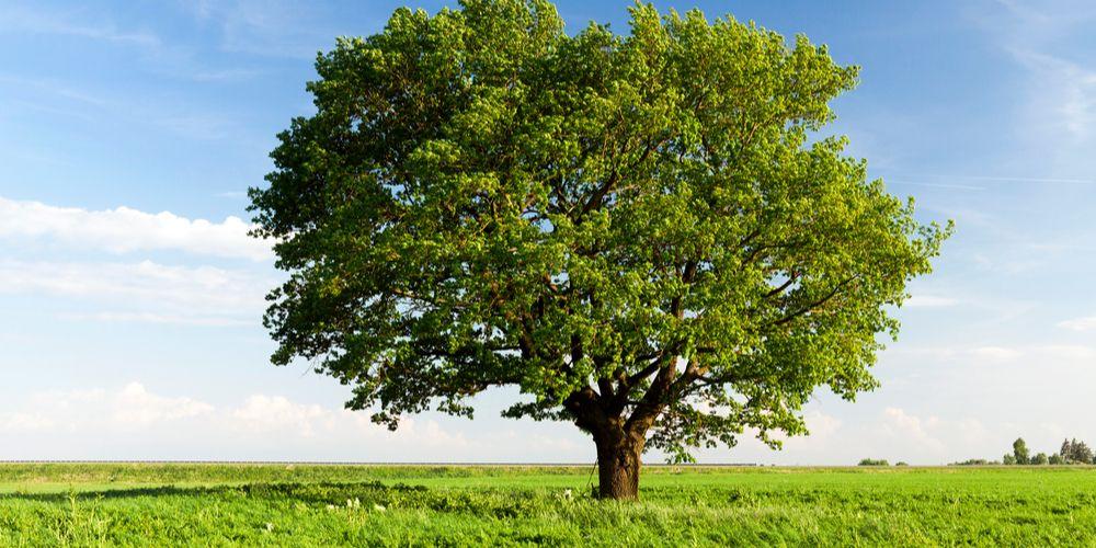 Wil je een koel huis? Plant een boom!